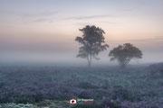 Landschapsfotografie: 'Two trees, more heather'' op de Zuiderheide nabij Hilversum (Noord-Holland, Nederland).