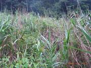未だ刈り取っていない6番ヨシ原内に繁茂するセイタカアワダチソウの幹を抜く