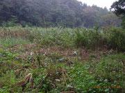 8番ヨシ原作業地(入口似ポールが立つ)、左岸沿いの高茎植物を刈利取った