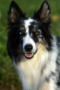 Opa Freestyle - eindeutig! Sumelocenna-border-collies