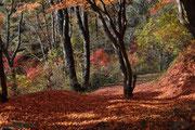 11月中旬 落ち葉の絨毯