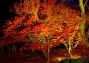 11月上旬 夜のモミジ ライトアップ 山岸一二三さん撮影