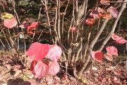 11月中旬 ベニマンサクの紅葉