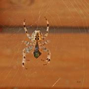 Kreuzspinne frisst Spinne