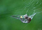 Libelle im Spinnennetz - 09-2009