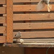 Junges Rotschwänzchen - vier so kleine Kerle, können schon Unmengen verschlingen!!!