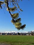 Palmkatzerln in Vorarlberg - Koblach