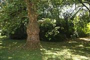 NK_Stadtpark_2013-09-07_051 - Interessanter Baum im Park.