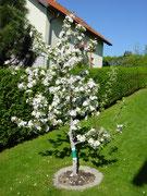 Apfelbaum im eigenen Garten in voller Blüte