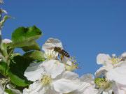 Pollensammlerin auf Apfelblüte (Bestäubungsarbeit)