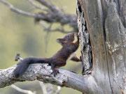 Junghörnchen beim Klettertraining, Leuk