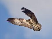 Fischadler (Pandion haliaetus), Stille Reuss