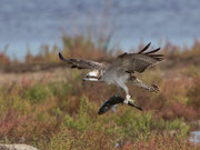 Fischadler (Pandion haliaetus), Albufera, Mallorca