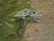 Wasserfrosch (Gattung Pelophyla), Villnachern
