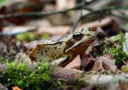 Grasfrosch (Rana temporaria), Villigen