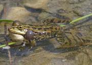 Wasserfrosch (Gattung Pelophyla), Leukerfeld