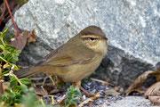 Bartlaubsänger (Phylloscopus schwarzi), Helgoland DE