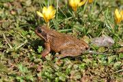 Grasfrosch (Rana temporaria), Villnachern