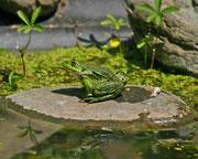Wasserfrosch (Gattung Pelophyla), Wildegg