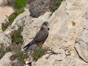 Eleonorenfalke (Falco eleonorae), Insel Dragonera, Mallorca