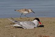 Ein Sanderling ist ebenfalls auf der Sandbank präsent.