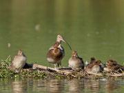 Reiherenten-Familie mit Zaungast (Grosser Brachvogel), Klingnauer Stausee