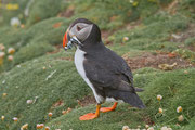 Papageitaucher (Fratercula arctica), Shetland GB