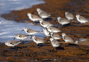 Sanderling (Calidris alba), Massa Nationalpark, Marokko