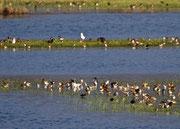 Kampfläufer, Ansammlung auf Flussinsel, Biebrza Nationalpark, Polen