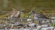 Kampfläufer (Philomachus pugnax) Jungvogel mit Alpenstrandläufer, Jona