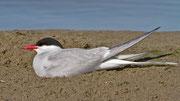 Die beiden Küstenseeschwalben bebrüten abwechslungsweise ihr Ei, das sie in eine Sandmulde gelegt haben.