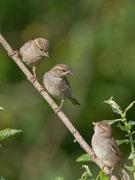 Haussperling (Passer domesticus), Weibchen oben mit 2 Jungvögeln, Graströchni Kölliken