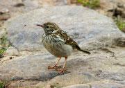 Wiesenpieper (Anthus pratensis), Jungvogel, Noss, Shetland