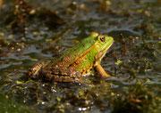 Wasserfrosch (Gattung Pelophyla), Brugg