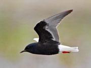Weissflügel-Seeschwalbe PK (Chlidonias leucopterus), Biebrza, Polen