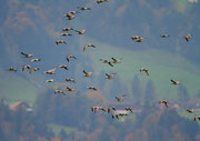 Grosser Brachvogel (Numenius arquata), Nuolener Ried