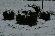 Privatgarten: Immergrüne Pflanzen wie hier die Buchskugeln geben einem Garten Struktur und werden dem Ganzjahresaspekt gerecht.