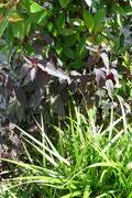 Pflanzauswahl Gartenbeet: Sich wiederholende Blattformen erzeugen angenehme Spannung durch die Wahl verschiedener Blattfarben.
