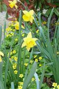Pflanzauswahl Gartenbeet: Ein sonniger Frühlingsgruß mit abgestimmter gelber Blütenfarbe.