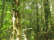 Balade en forêt primaire