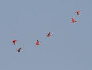 Vol d'Ibis rouges au dessus de la Mana.