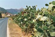 On trouve des figuiers de Barbarie partout en Sardaigne