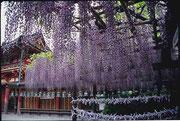 【春日大社と藤の花】 奈良駅から公園を散策すると、一番奥に位置する。周りの木々は高く厳かな雰囲気を感じる。