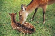 【奈良公園の鹿】 奈良公園の総面積は502haあり、公園内は芝生に覆われており、約1200頭の鹿が生息。鹿は春日大社の神使と伝えられている。