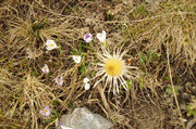 Carlina bianca e crocus