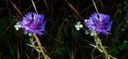 Das ist die Kornblume - Foto P. Welker