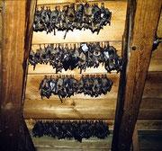 ...ein Schlaraffenland für viele Bats - Foto Hartmut Idler