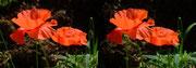 Blüten des KLatschmohn - Foto P. Welker