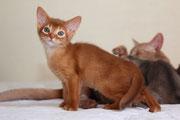 Misirlou de la Rivaleraie - Chaton femelle Abyssin de couleur Cinnamon Ticked Tabby (Sorrel)