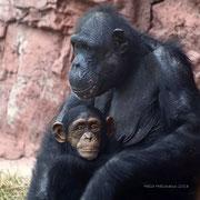Schimpi Mutter Xandra und Tochter Yumma